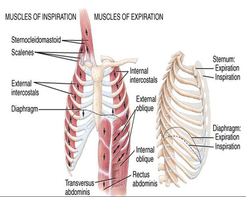 500px-Respiratory-muscles